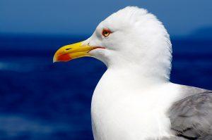 seagull-293699_1280
